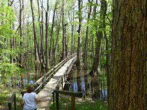 cypress swamp natchez trace