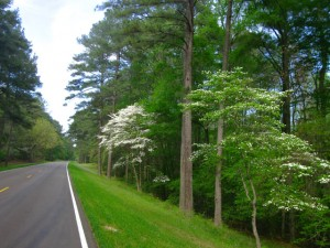 Dogwoods along the Natchez Trace