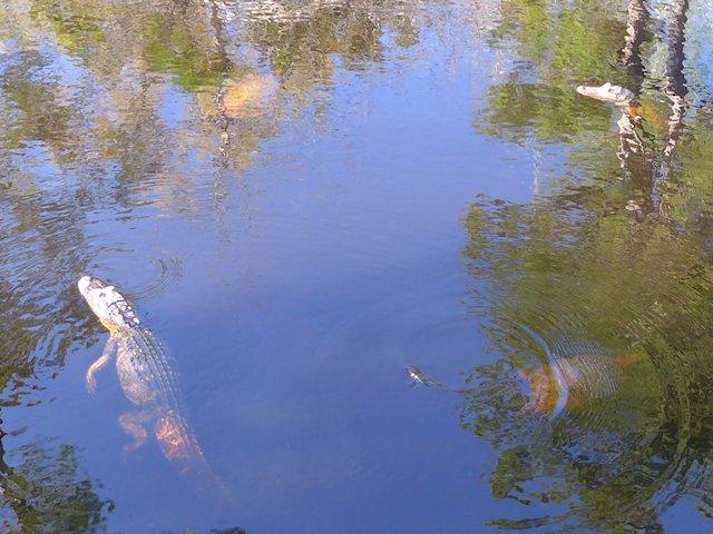Gator pond davis bayou