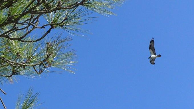 Osprey Cedar Key Boardwalk Trail
